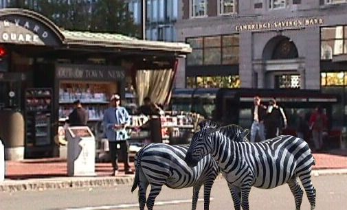 Two zebra in Harvard Square.